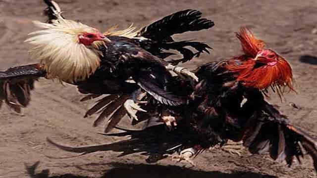 Gabung Main Sabung Ayam