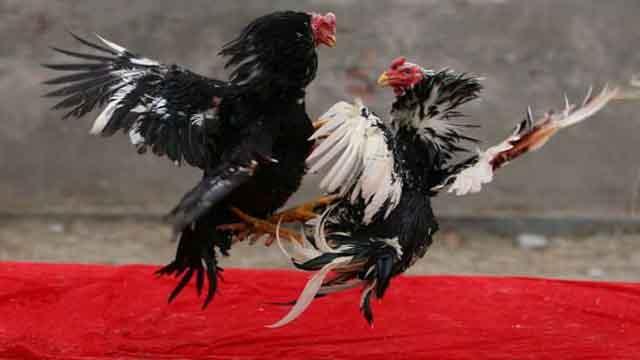 Cara Jitu Bermain Sabung Ayam Online